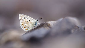 Polyommatus coridon Royalty Free Stock Photo