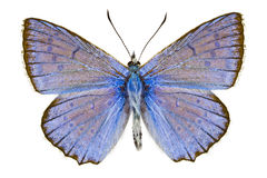 Polyommatus daphnis Stock Photos