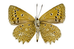 Polyommatus daphnis Royalty Free Stock Images