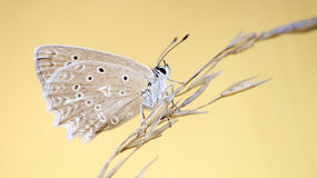 Polyommatus daphnis Royalty Free Stock Photography