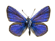 Polyommatus eros Royalty Free Stock Photos