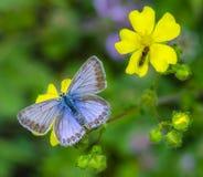 Polyommatus Icare photos libres de droits