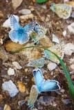 Polyommatus Icare sur la marjolaine Photographie stock libre de droits