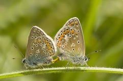 Polyommatus Icaro Fotografia Stock