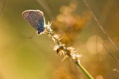 Polyommatus Icaro Fotografie Stock