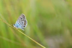 Polyommatus Icaro Immagine Stock Libera da Diritti