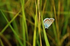 Polyommatus Icaro Immagini Stock