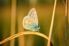 Polyommatus Icaro, blu comune, è una farfalla nella lycaenidae della famiglia Bella farfalla che si siede sul fiore Fotografie Stock Libere da Diritti