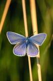Polyommatus Icaro, blu comune, è una farfalla nella lycaenidae della famiglia Bella farfalla che si siede sul fiore Immagine Stock