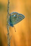 Polyommatus Icaro, blu comune, è una farfalla nella lycaenidae della famiglia Bella farfalla che si siede sul fiore Immagine Stock Libera da Diritti