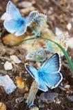 Polyommatus Icaro su origano Fotografia Stock