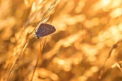 Polyommatus Icarus Royalty-vrije Stock Foto