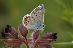 Polyommatus icarus. Beautiful butterfly (Polyommatus icarus)  sits on a purple flower Stock Image