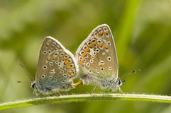 Polyommatus icarus Stock Photography