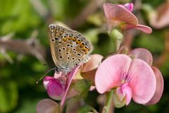 Polyommatus icarus. Butterfly on pink flower Stock Photo