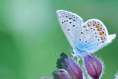 Polyommatus icarus. Beautiful butterfly (Polyommatus icarus)  sits on a purple flower, green background Stock Images