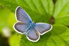 Free Polyommatus Icarus Stock Photo - 32554760