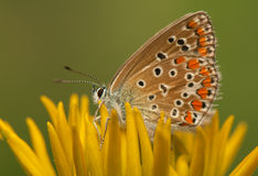 Polyommatus icarus Royalty Free Stock Image