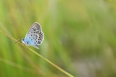Polyommatus icarus. Beautiful Polyommatus icarus on the summer meadow. The side view of a blue butterfly. Insect with pattern wings Royalty Free Stock Image