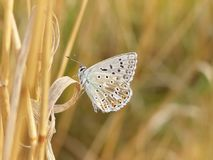 Polyommatus icarus. Beautiful Polyommatus icarus on the summer meadow. The side view of a blue butterfly. Insect with pattern wings Stock Photography