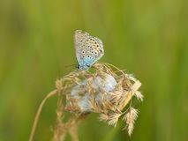 Polyommatus icarus. Beautiful Polyommatus icarus on the summer meadow. The side view of a blue butterfly. Insect with pattern wings Stock Photos
