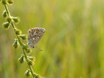 Polyommatus icarus. Beautiful Polyommatus icarus on the summer meadow. The side view of a blue butterfly. Insect with pattern wings Royalty Free Stock Images