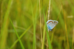 Polyommatus icarus. Beautiful Polyommatus icarus on the summer meadow. The side view of a blue butterfly. Insect with pattern wings Stock Image