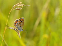 Polyommatus icarus Royalty Free Stock Photography