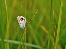 Polyommatus icarus. Beautiful Polyommatus icarus on the summer meadow. The side view of a blue butterfly. Insect with pattern wings Royalty Free Stock Photography