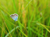 Polyommatus icarus. Beautiful Polyommatus icarus on the summer meadow. The side view of a blue butterfly. Insect with pattern wings Stock Photo