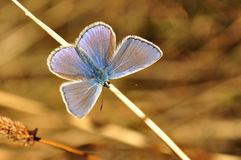 Polyommatus icarus, blue butterfly Royalty Free Stock Photos