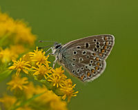 Polyommatus Icarus butterfly Stock Photos