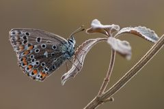 Polyommatus icarus butterfly royalty free stock photos