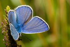 Polyommatus icarus, Common Blue Stock Images