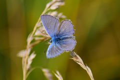 Polyommatus icarus. The common blue butterfly (Polyommatus icarus Stock Photos