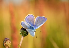 Polyommatus Icarus, Common Blue, is a butterfly in the family Lycaenidae. Beautiful butterfly sitting on flower. Royalty Free Stock Image