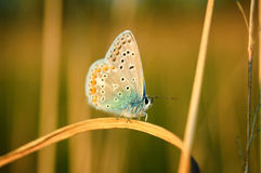 Polyommatus Icarus, Common Blue, is a butterfly in the family Lycaenidae. Beautiful butterfly sitting on flower. Royalty Free Stock Photos