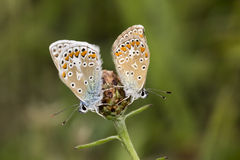 Polyommatus icarus, Common Blue butterfly from Lower Saxony, Germany Stock Photography