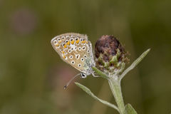 Polyommatus icarus, Common Blue butterfly from Lower Saxony, Germany Stock Photos