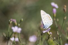 Polyommatus icarus common blue butterfly on a purple flower stock image
