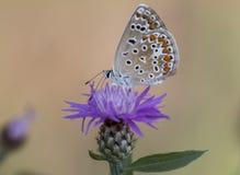 Polyommatus icarus Stock Photo