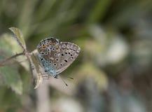 Polyommatus icarus stock images