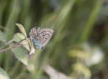 Polyommatus icarus Royalty Free Stock Photo