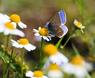 Polyommatus icarus on daisies Royalty Free Stock Photo
