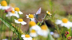 Polyommatus icarus on daisies Stock Photos