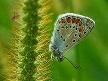 Polyommatus icarus stock image