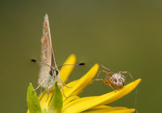 Polyommatus icarus and Metellina segmentata Stock Image