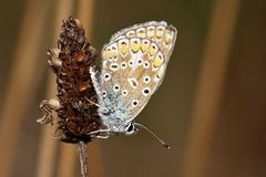 Polyommatus icarus Royalty Free Stock Photography