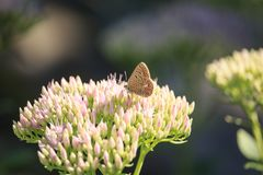 Polyommatus icarus  on Sedum spectabile Flower. Polyommatus icarus thersites Butterfly on Sedum spectabile Flower on Sunset Stock Photos