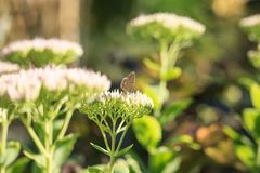 Polyommatus icarus  on Sedum spectabile Flower. Polyommatus icarus thersites Butterfly on Sedum spectabile Flower on Sunset Stock Photo